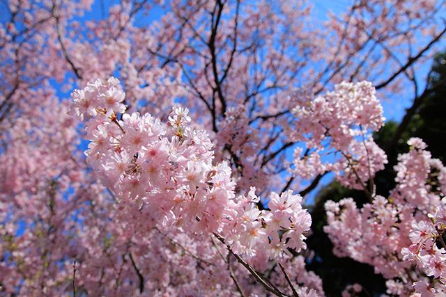 上野公園のソメイヨシノ (c)ヒダキトモコ